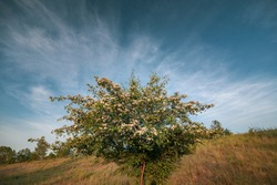 Beautiful moody, colorful and dramatic wide anlge close shot of a blooming spring tree with tree buds, green leaves and a nice blue sky with white clouds in the background