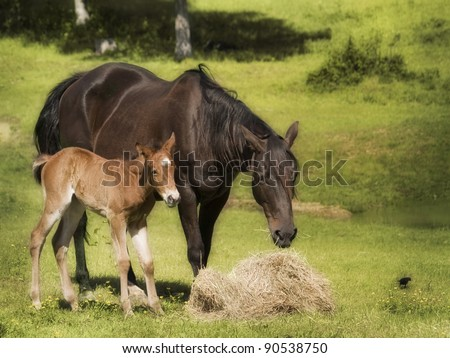 Beautiful mother and baby horse eating hay