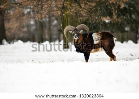Beautiful Mouflon Male in Winter on Snow Ovis Aries Musimon Stock Photo #1320023804