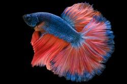 Beautiful movement of blue red Betta fish, Siamese fighting fish, Betta splendens of Thailand isolated on black background.