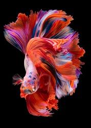 Beautiful movement of red Betta fish, Siamese fighting fish, Betta splendens of Thailand, isolated on black background.