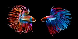 Beautiful movement of red blue Crowntail 2 betta fish, Siamese fighting fish tail, Betta splendens, blue spiky tail isolated on black background.