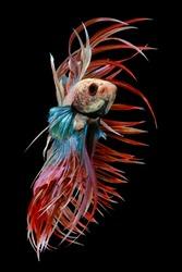 Beautiful movement of red  crowntail betta fish, Fancy Halfmoon Betta, The moving moment beautiful of Siamese Fighting fish, Betta splendens, Rhythmic of Betta fish on black background.