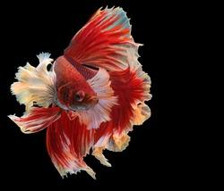 Beautiful movement of Siamese fighting fish, Rhythmic of red betta fish, betta splendens (Halfmoon red dragon betta ), isolated on black background.