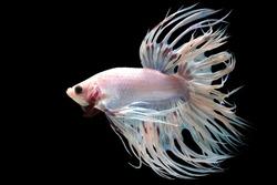 Beautiful movement of white Crowntail betta fish, Fancy Halfmoon Betta, The moving moment beautiful of Siamese Fighting fish, Betta splendens, Rhythmic of Betta fish isolated on black background.