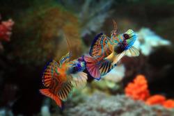 Beautiful multi color mandarin fish, mandarin fish fighting, two male mandarin fish closeup, Mandarinfish or Mandarin dragonet