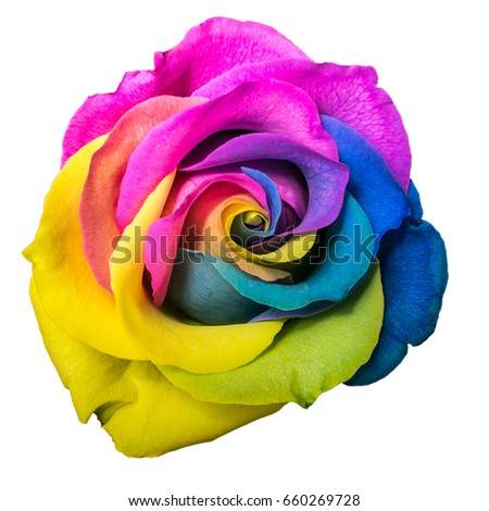 Stock Photo Beautiful multicolor rose flower isolated on white background