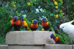 Beautiful multicolored Australian  lorikeets waiting for food