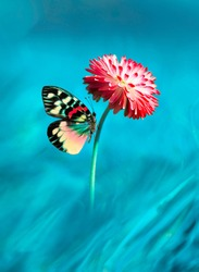 Beautiful multicolored colorful butterfly on bright pink magenta flower daisy macro on blue background in spring. Amazing unusual artistic image of the beauty of living nature.
