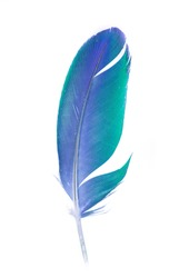 Beautiful multicolored colorful parrot feather on white background. Single feather.