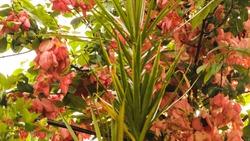 beautiful musanda flowers in spring at Jabalpur India