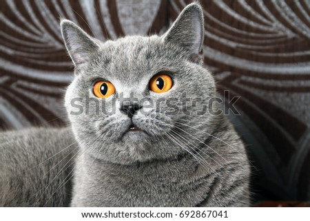 Beautiful muzzle of a gray cat #692867041