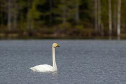 Beautiful national bird of Finland, Whooper swan, Cygnus cygnus swimming on the lake in Finnish wild nature