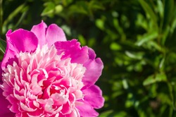 Beautiful natural background for valentine day, 8 march, and love theme, peony flowers Paeonia lactiflora, close up