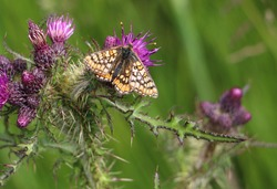 Beautiful natural Butterfly from Scotland, Scottish wildlife, insects