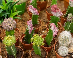 Beautiful natural cacti of different colors in pots top view. Inoculation of different varieties of cacti on another trunk. Growing and grinding of desert cactus plants at home