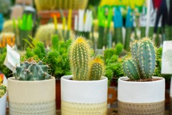 Beautiful natural green cacti in pots. Growing desert cactus plants at home. Small prickly houseplants in white clay pots