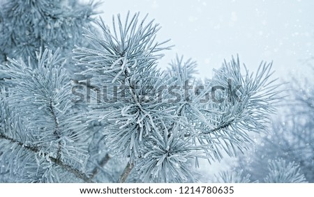 beautiful natural winter background. pine tree branches covered with snow. Frozen tree branch in winter forest. first snow. Close up, soft selective focus.