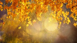 Beautiful Nature Autumn Background, selective focus. Golden autumn birch tree on blurred background close up. Autumn scene on October sunny day