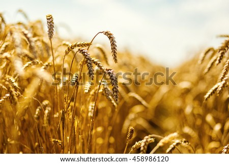 Beautiful nature background of ripening ears of meadow golden wheat field as harvest concept #458986120