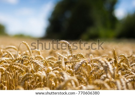 Beautiful nature background of ripening ears of meadow golden wheat field as harvest concept #770606380