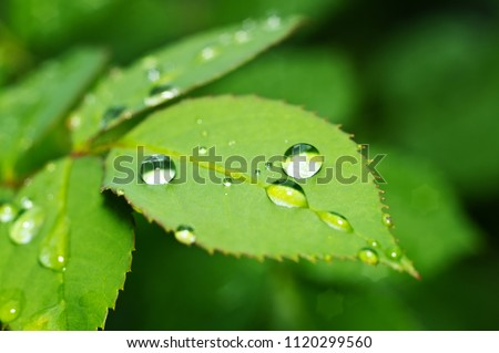 Beautiful nature background with morning fresh drops of transparent rain water on a green leaf. Drops of dew in green leaves. Droplets outdoors in summer in spring close-up macro. Natural background.