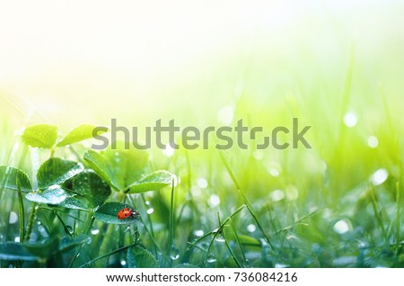 Beautiful nature background with morning fresh grass and ladybug. Grass and clover leaves in droplets of dew outdoors in summer in spring close-up macro. Template for design