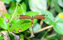 Beautiful nature scene dragonfly. Dragonfly in the nature habitat using as a background or wallpaper.The concept for writing an article. Red dragonfly wings. Chandpur, Bangladesh / 2020.