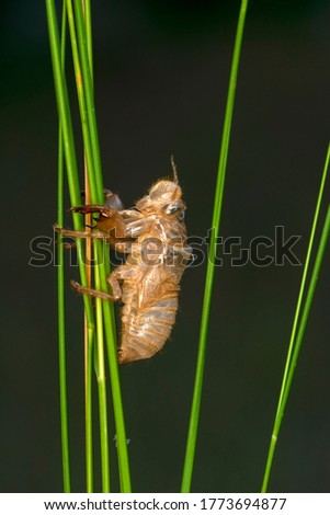 Beautiful nature scene macro cicada molting. Showing of eyes and wing detail.Cicada in the wildlife nature habitat using as background or wallpaper.Cicada insect stick on tree
