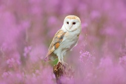 Beautiful nature scene with owl and pink flowers. Barn Owl in light pink bloom, clear foreground and background, Czech Republic. Wildlife art scene from nature with bird.