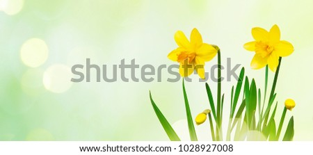Beautiful Nature spring background with Yellow daffodils flowers. Easter Sunny day With Spring flowers. Springtime. Wide Angle Wallpaper or Web Banner With Copy Space for design