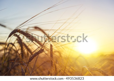 Beautiful nature sunset landscape. Ears of golden wheat close up. Rural scene under sunlight. Summer background of ripening ears of meadow agriculture land. Growth harvest. Wheat field natural product #493536823