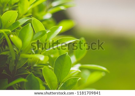 Beautiful nature view of green plant.Natural at sunset and under sunlight.Leaf of plant using for the background and wallpaper or texture. #1181709841