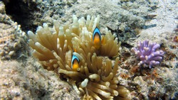 beautiful nemo fish at Light House dive site in Egypt
