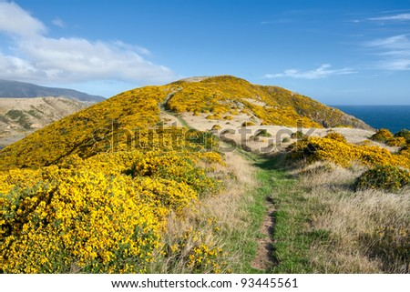 Beautiful New Zealand landscape. Mountains covered by yellow flowers (Gorse - Ulex europaeus). East Harbour Regional Park, Wellington.
