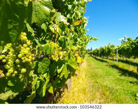 Beautiful New Zealand vineyard