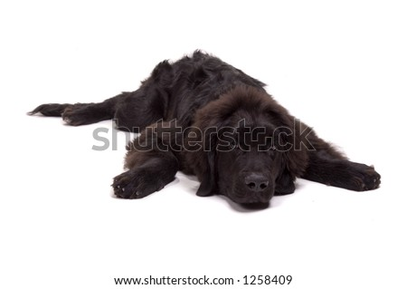 Beautiful Newfoundland dog about 1 year old