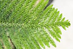 Beautiful Norfolk Island Pine Leaves. Scientific Name: Araucaria Heterophylla.
