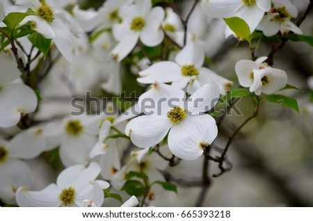 Beautiful north carolina dogwood blooms ez canvas beautiful north carolina dogwood blooms mightylinksfo