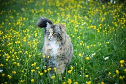 beautiful norwegian long furred cat walking cautiously in the tall grass with yellow flowers of a meadow. Freedom concept.