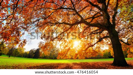 Beautiful oak tree on a lawn with the setting autumn sun shining warmly through its leaves