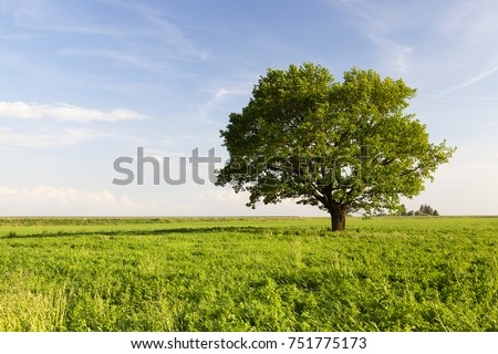 beautiful oak tree with green...