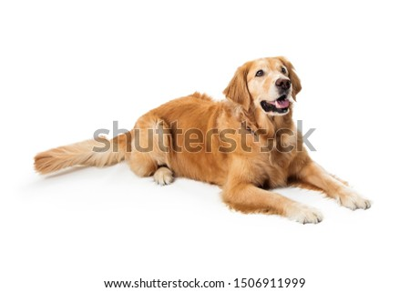 Beautiful obedient Golden Retriever purebred dog lying down on white Foto stock ©