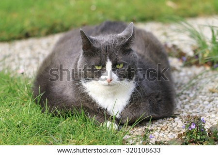 Beautiful obese cat spread out on the grass in the garden, tired and hungry after a workout