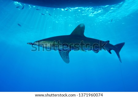 beautiful oceanic white tip shark swimming near scuba divers under the boat