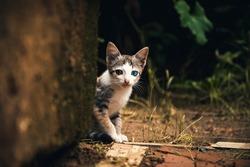 Beautiful odd eyed cat kitten.Looking towards camera.Sitting under a wall