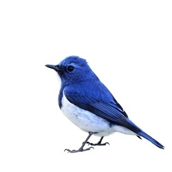 Beautiful of blue bird Ultramarine Flycatcher isolated on white background, Ficedula superciliaris