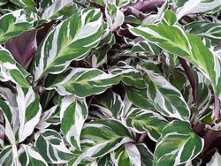 Beautiful of Calathea fusion white leave texture background. Tropical foliage leaf, top view, nature background.