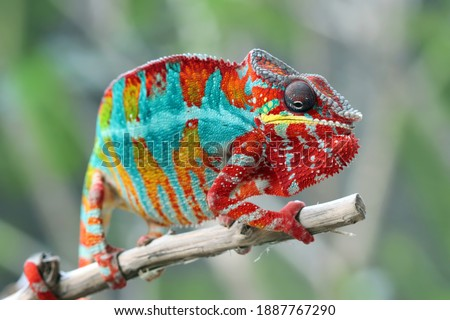 Beautiful of chameleon panther, chameleon panther on branch, chameleon panther climbing on branch, Chameleon panther closeup Stock photo ©