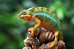 Beautiful of chameleon panther, chameleon panther on branch, chameleon panther closeup face, Chameleon panther closeup